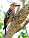 Red Bellied Woodpecker -Melanerpes carolinus Royalty Free Stock Photography