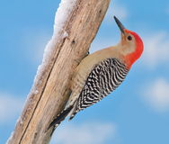 Red- bellied Woodpecker (Melanerpes carolinus) Stock Photography