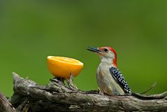 Red-Bellied Woodpecker (Melanerpes carolinus) Royalty Free Stock Photos