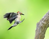 Red-Bellied Woodpecker (Melanerpes carolinus) Stock Photos