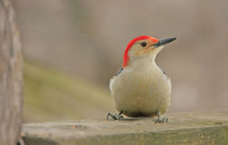 Red-bellied Woodpecker (Melanerpes carolinus) Stock Images