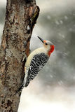 Red-bellied Woodpecker (Melanerpes carolinus) Royalty Free Stock Photo