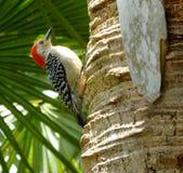 Red-bellied Woodpecker (Melanerpes carolinus) Royalty Free Stock Image