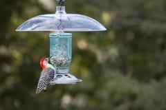 Red-Bellied Woodpecker - Melanerpes carolinus Stock Photo