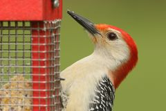 Red-bellied Woodpecker Melanerpes carolinus on a Feeder Stock Images