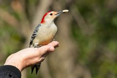 Red-bellied Woodpecker - Melanerpes carolinus royalty free stock image