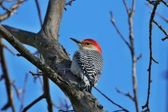 Red- bellied woodpecker. The red-bellied woodpecker Melanerpes carolinus. Is a medium-sized woodpecker.American bird occurring mainly in the eastern United royalty free stock photos