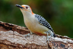 Red-bellied Woodpecker(Melanerpes carolinus) Royalty Free Stock Photos