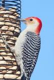 Red-bellied Woodpecker (Melanerpes carolinus) on a Peanut Feeder Stock Photo
