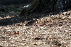 Red-bellied woodpecker Melanerpes carolinus pecks for food from on the ground. In Naples, Florida royalty free stock photography