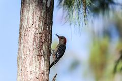 Red-bellied woodpecker Melanerpes carolinus pecks on a tree. Food in Naples, Florida stock photos