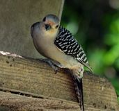 Red-bellied Woodpecker (Melanerpes carolinus) Royalty Free Stock Images