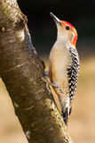 Red-bellied Woodpecker. A red-bellied woodpecker on an mountain ash tree Royalty Free Stock Photos