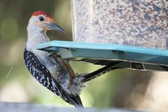 Free Red Bellied Woodpecker On Bird Feeder Stock Photo - 121612800