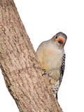 Red-bellied woodpecker peaks around a tree truck. Female red-bellied woodpecker peaks around the on trunk of a tree; white background stock images