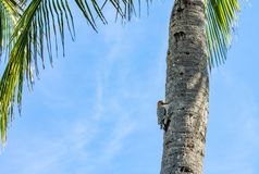 Red Bellied Woodpecker Pecking on a Palm Tree. A red bellied woodpecker pecking on a Florida palm tree with a blue cloudy sky in the background royalty free stock photos