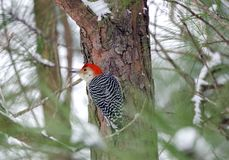 Red-bellied Woodpecker on snowy pine tree, Georgia, USA Stock Image