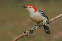 Red-bellied Woodpecker Royalty Free Stock Photography