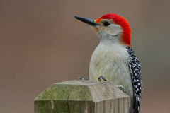 Red Bellied Woodpecker Royalty Free Stock Image