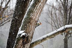Red Bellied Woodpecker Perched on a Tree in a Snow Storm royalty free stock image
