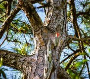 Red Bellied Woodpecker Posing on the Pine Tree. A red bellied woodpecker clinging to the bark of a Florida pine tree in a forest with a blurred background royalty free stock photo
