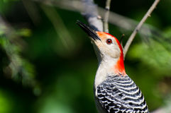 Red-Bellied Woodpecker Profile Stock Photography
