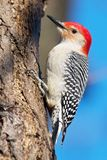 Red-Bellied Woodpecker. Scaling a tree Stock Photography