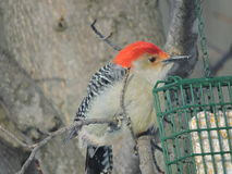 Red-bellied Woodpecker sitting on  branch near a suet feeder Stock Photo