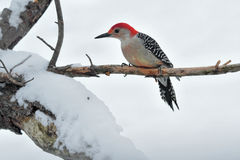 Red-bellied woodpecker. Sitting on a branch in a snow covered tree Stock Photo