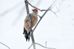 Red-bellied woodpecker. Sitting on a branch in a snow covered tree Stock Photography