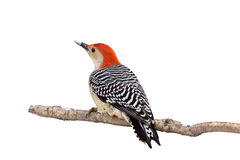 Red-bellied woodpecker with a snow covered beak. White background royalty free stock image