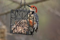 Red Bellied Woodpecker on Suet Feeder. A Red Bellied Woodpecker eats from a suet feeder hanging in a tree Stock Images