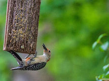 Red-Bellied Woodpecker at Suet Feeder Royalty Free Stock Image
