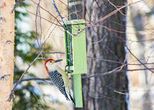 Red-bellied Woodpecker Royalty Free Stock Images