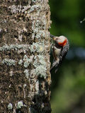 Red Bellied Woodpecker on Tree Head Upside Down Royalty Free Stock Photography