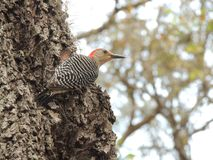 Red-Bellied Woodpecker on the Tree royalty free stock image