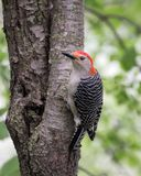 Red Bellied Woodpecker on a tree stock photography