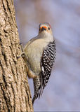 Red-bellied woodpecker on a tree trunk. Female red-bellied woodpecker on trunk of tree with an inquisitive expression on her face; out of focus blue sky stock images