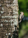 Red Bellied Woodpecker on Tree Trunk Stock Photography