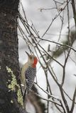 Red-Bellied Woodpecker on Snowy Apple Tree V stock photography