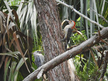 Red-bellied Woodpeckers Stock Photo