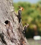 Red-bellied woodpeckers. Watching this pair of Red-bellied woodpeckers feed their young chicks was great fun Stock Photo