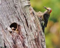 Red-bellied woodpeckers. Watching this pair of Red-bellied woodpeckers feed their young chicks was great fun Stock Photography