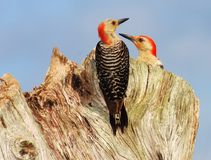 Red-bellied woodpeckers. Watching this pair of Red-bellied woodpeckers feed their young chicks was great fun Royalty Free Stock Images
