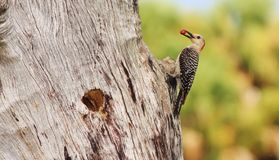 Red-bellied woodpeckers. Watching this pair of Red-bellied woodpeckers feed their young chicks was great fun Stock Image