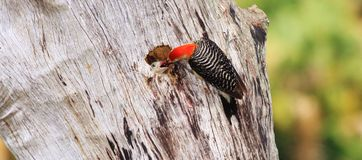 Red-bellied woodpeckers. Watching this pair of Red-bellied woodpeckers feed their young chicks was great fun Stock Photos