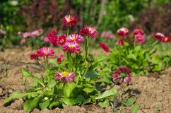 Red Bellis perennis in bloom. Red Daisy flowers lat. Bellis perennis in bloom in the garden Royalty Free Stock Images