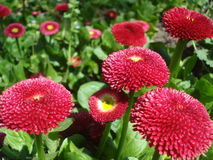 Red bellis perennis flowers Royalty Free Stock Image