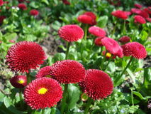 Red bellis perennis flowers Stock Photography