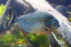 Red Belly Piranha. Closeup of a Red-Belly Piranha (Pygocentrus nattereri Stock Photo